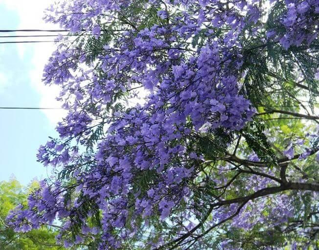 Đến du lịch Đà Lạt ngắm cành hoa phượng tím