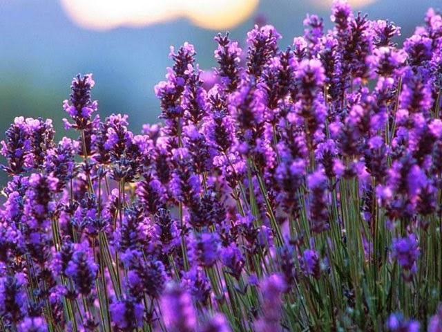 Ý nghĩa của vườn hoa Lavender Đà Lạt